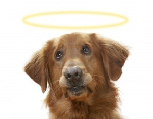 7000276-a-golden-retriever-dog-on-a-white-background-wearing-a-halo
