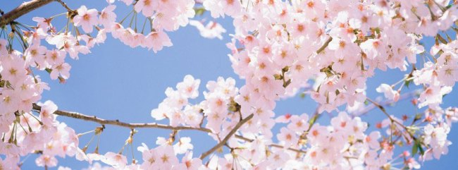 Cherry-Blossom-Tree-315x851