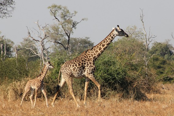 What is the Thornicroft's Giraffe, Zambia