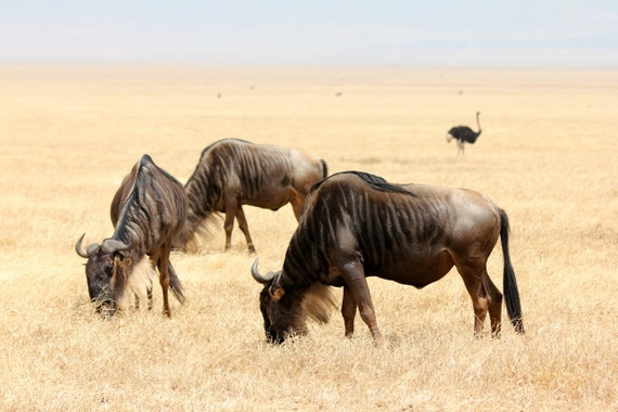 Ngorongoro Wildebeest migration
