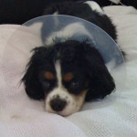 George the Cavalier King Charles after a trip to the vet