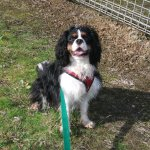 Cavalier King Charles needs exercise