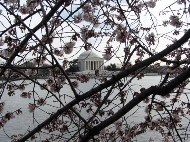 Jefferson Memorial and Cherry Blssoms