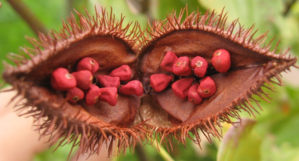 "Annatto Seeds (Photo: ""Bixa orellana fruit open"" by Leonardo Ré-Jorge - Own work. Licensed under GFDL via Commons - https://commons.wikimedia.org/wiki/File:Bixa_orellana_fruit_open.jpg#/media/File:Bixa_orellana_fruit_open.jpg)"