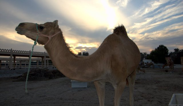 Camels in Bahrain