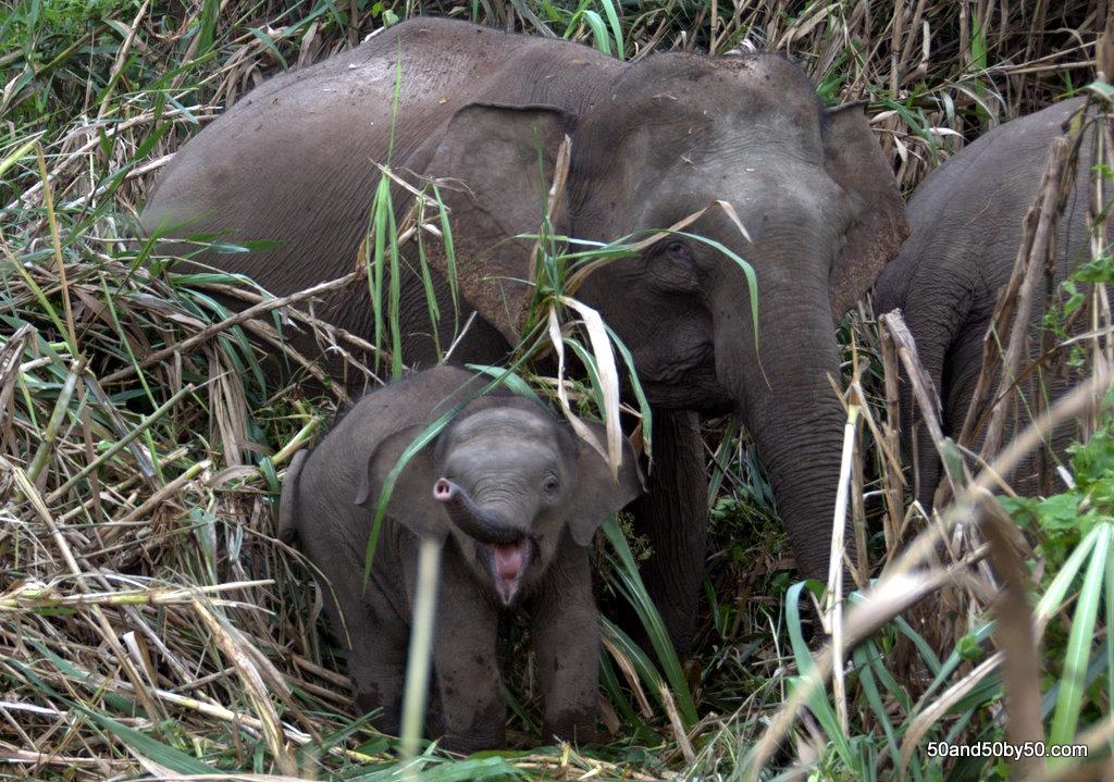 Asian Elephants in the wild - baby elephants!
