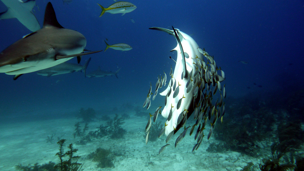 Diving with Grey Reef Sharks - best shark video ever!