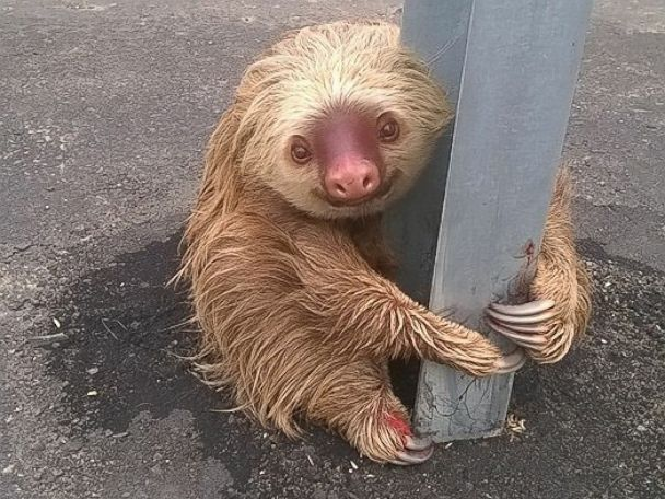Little sloth clings on to guardrail as it struggles to cross road