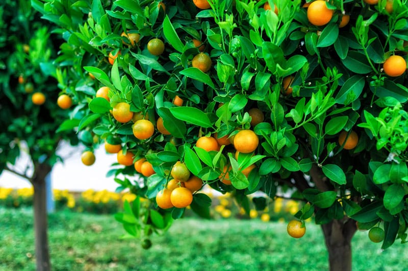 Helping Your Citrus Trees Bear Fruit A1 Sure Services