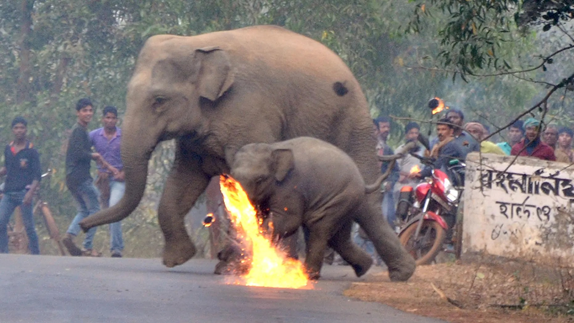 Photos éléphants Indian Village Mob Lobs Firebombs At Mother Baby Elephants To