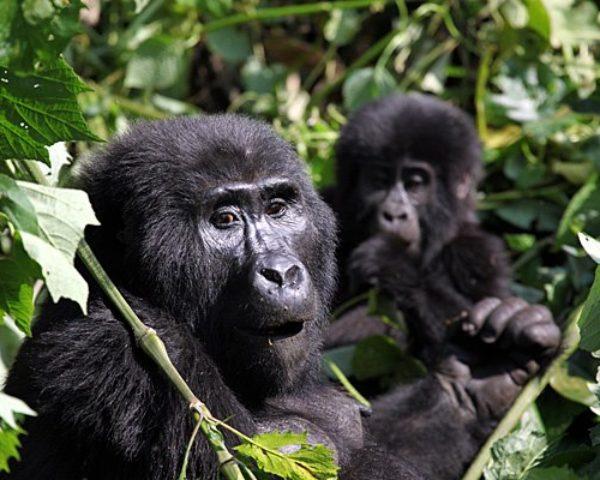 Uganda safaris, Gorilla safaris in Uganda