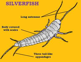 Silverfish Removal Sydney Top Rated Abc Pest Control