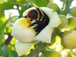 Eulaema-bombiformes-CréditoMarcelo-Cavalcante