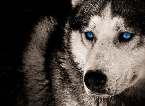 Cute Husky Wallpaper Hd A Blog About Wolves Just Another Wordpress Com Site