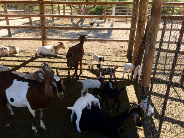 Lots of goats