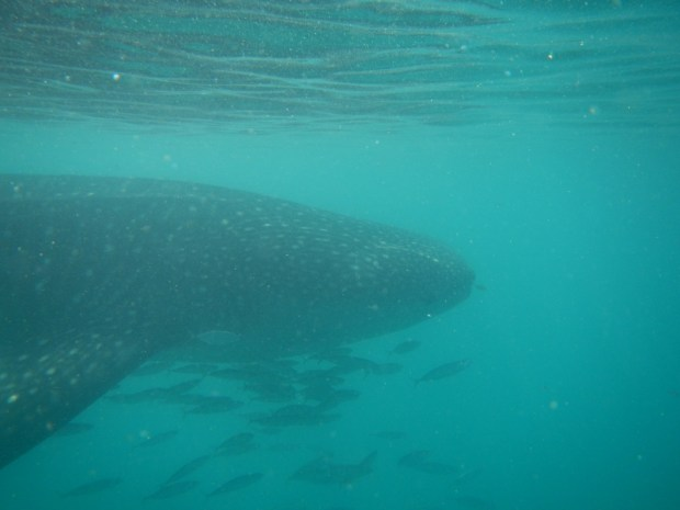 Whale sharks are filter feeders and like murky water full of plankton