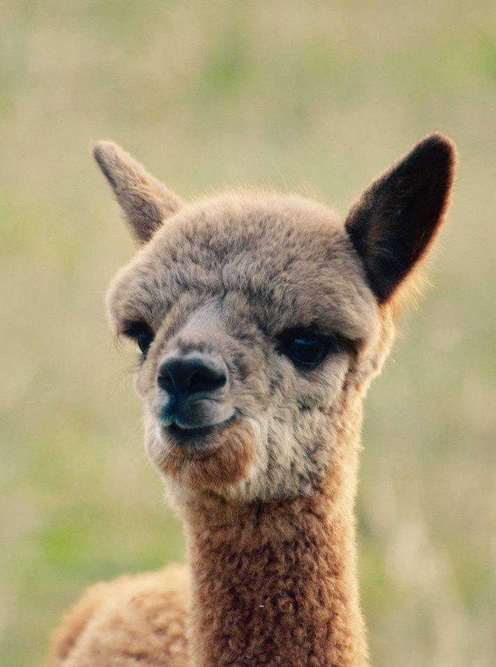 Alpaka Bettdecken Kaufen  Alpakahof Im M252;nsterland Abolengo De Alpaca