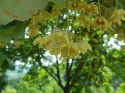 Small Of Linden Tree Smell