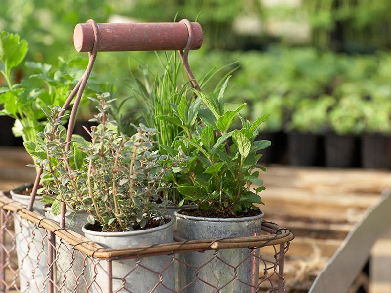 semillas de plantas condimentarias