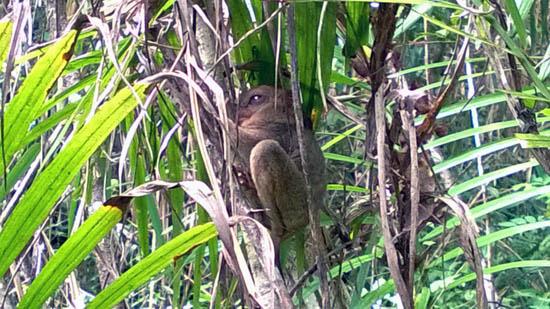 tarsier in the sanctuary