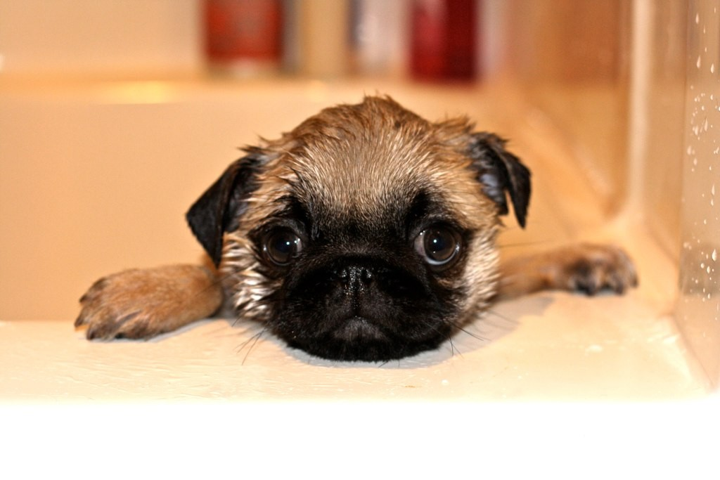 Really Cute Dog Wallpaper Pug Puppy Archives Page 3 Of 18 About Pug