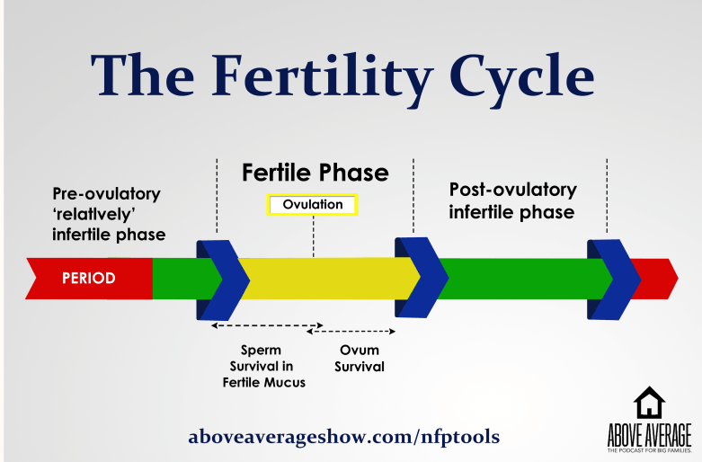 A chart of a woman's fertility cycle