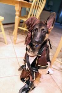 German shepherd puppy | AbsolutelyBositively