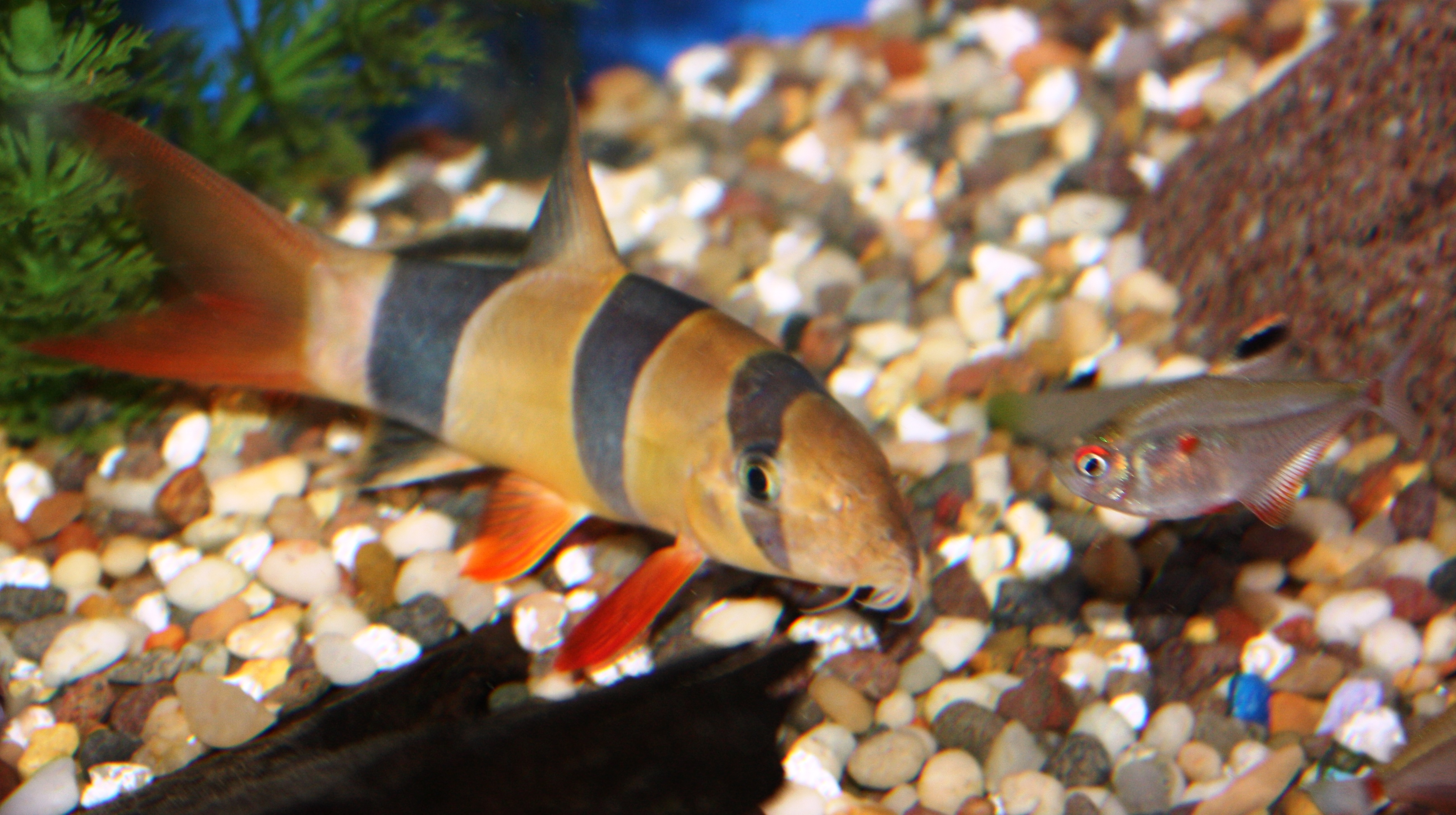 Freshwater Fish for Sale NJ - Clown Loaches