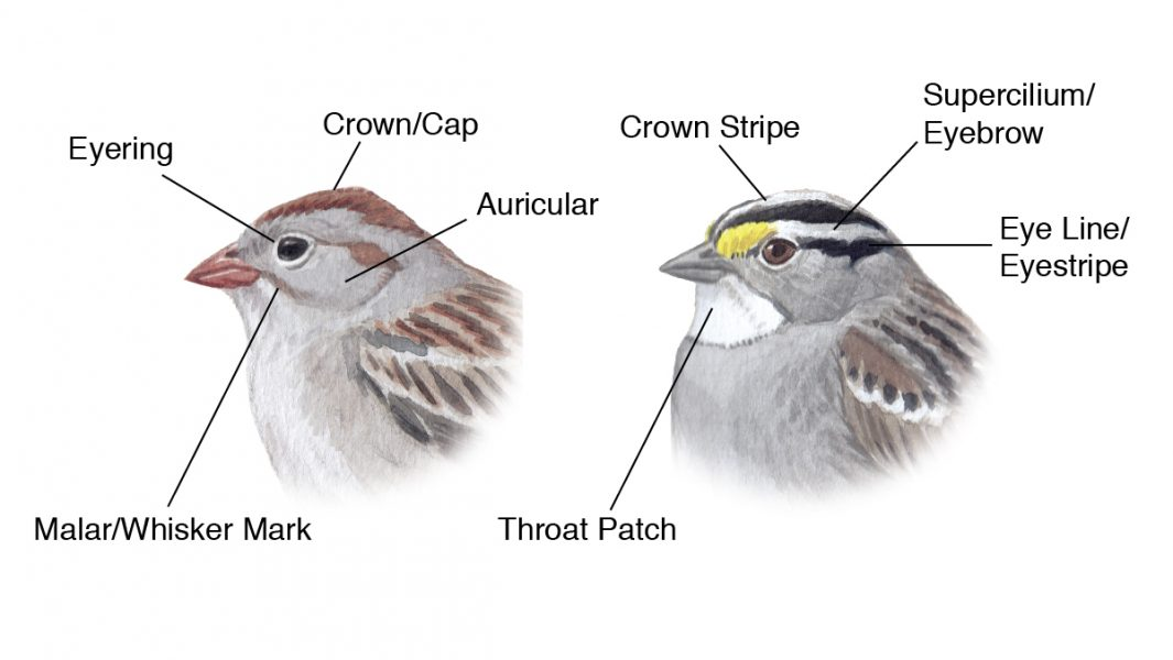diagram of bird head parts Bird Academy \u2022 The Cornell Lab