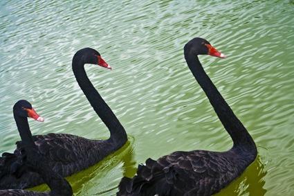 Swans_sm