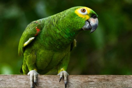 Dedo-duro: Papagaio denuncia traição e provoca fim de casamento