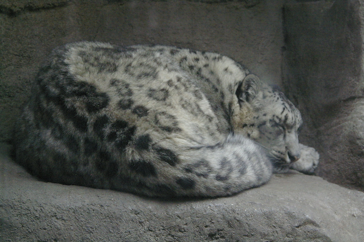 Yes, It's Snow Leopards!
