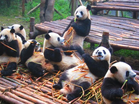 Chengdu China Pandas
