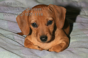 Fall Wallpaper Dog Weenie Cute Dachshund Puppy Image Picture Photograph