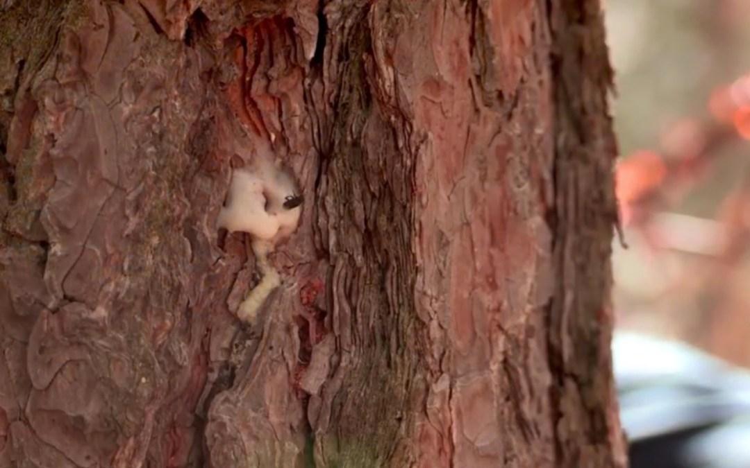 Bark Beetles in the Sierra – New Video