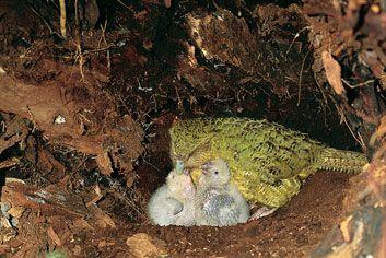 طيور ملونه روعه 2016 ، طائر البغبغان المميز 2016 ، صور طيور منوعه kakapo_chicks.jpg