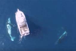 Drone Footage – Three Whales Dance Underwater Ballet Beneath Boat