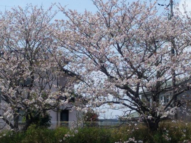 20170416の桜