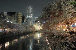 cerisiers en fleur au Japon hanami - 10