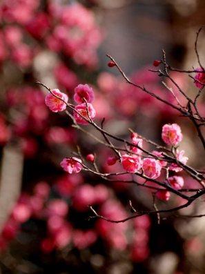 cerisiers en fleur au Japon hanami - 14