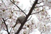 cerisiers en fleur au Japon hanami - 15