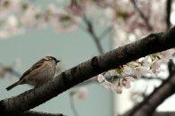 cerisiers en fleur au Japon hanami - 19