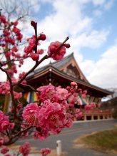 cerisiers en fleur au Japon hanami - 26