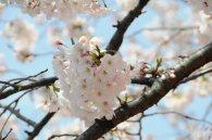 cerisiers en fleur au Japon hanami - 29