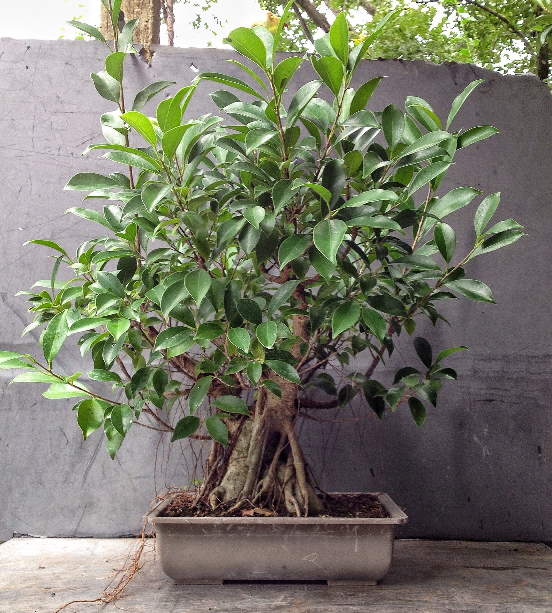 Ficus Ginseng Bonsai This Was A Ginseng Ficus Now Please Stop Saying They Re Not