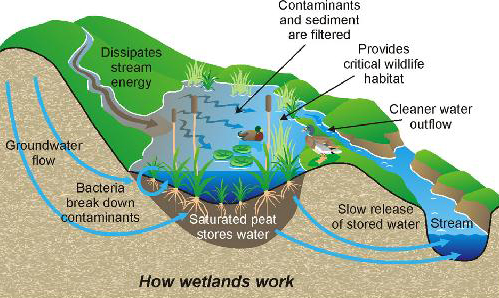 Diagram Of Wetland Download Wiring Diagram