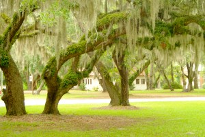 Spanish moss hangs on the trees on Saint Helena Island, South Carolina.