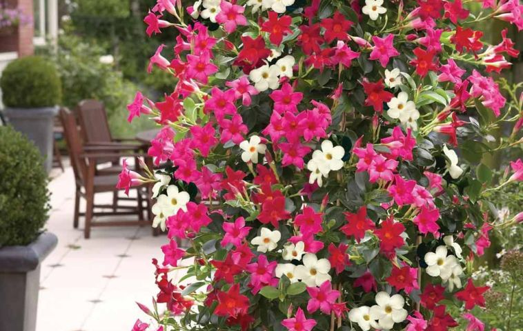 adelaparvu.com despre Mandevilla floare cataratoare, text Carli Marian (9)