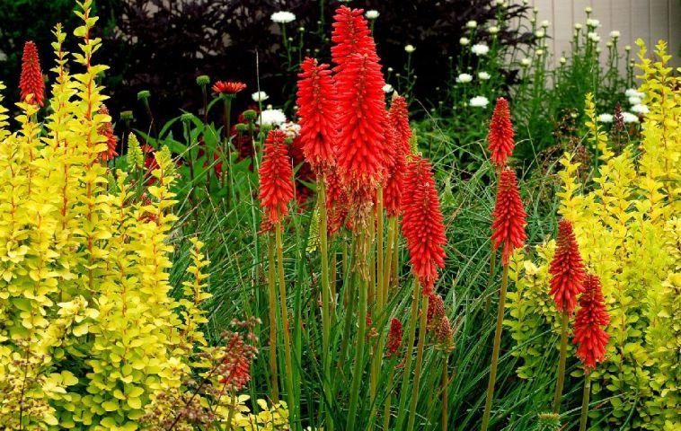 adelaparvu.com despre florile Kniphofia uvaria, Red Hot Poker,  Crinul faclie, Text Carli Marian (4)