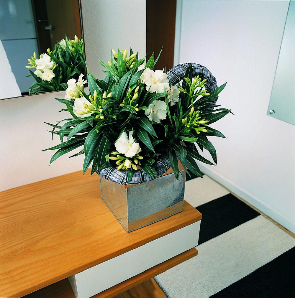 adelaparvu.com despre Nerium Oleander, leandrul potrivit in gradina si pe balcon, Text Carli Marian (3)
